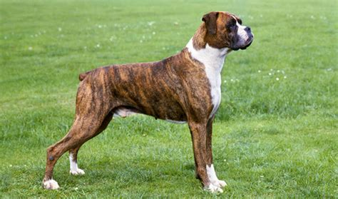 boxer puppies information boxer breed information