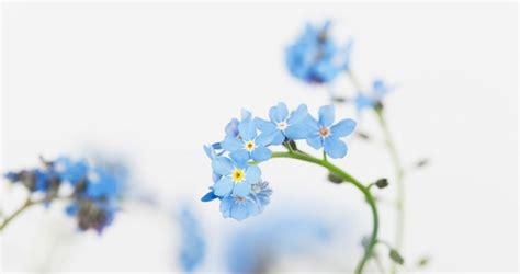 Blume Vergiss Mein Nicht 3822 by Vergissmeinnicht Bilder Madame De