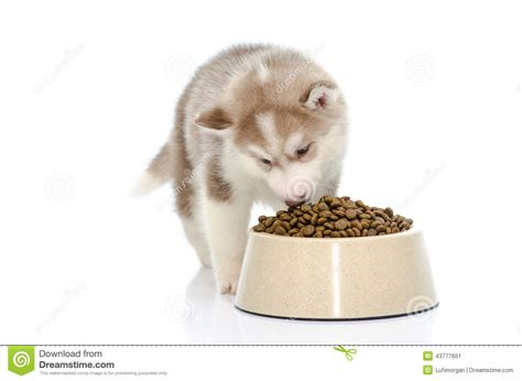 husky puppy food puppy food stock image image of siberian white