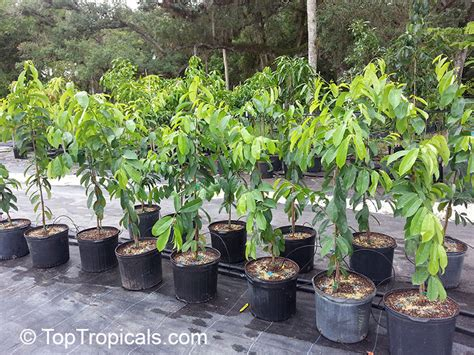 fruit trees for sale in california annona muricata soursop guanabana graviola