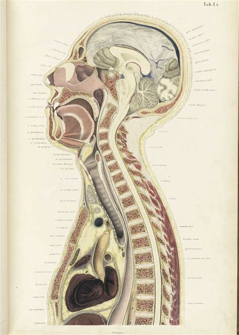 Human Cross Section by Historical Anatomies On The Web Browse Titles