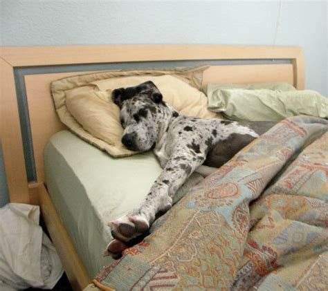 great dane beds 12 hilarious photos that prove great danes can sleep