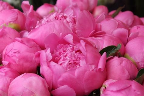 dark pink peony photograph by sandy keeton 63 best peonies images on pinterest pink peonies floral