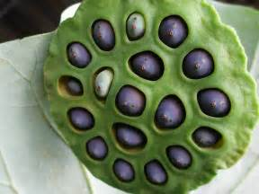 Breast Lotus Seed Pod Skull Of Child Developing Teeth No But It S A