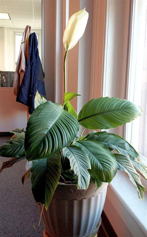 Einblatt Pflege Tipps by Einblatt Spathiphyllum Pflege Vermehrung Majas