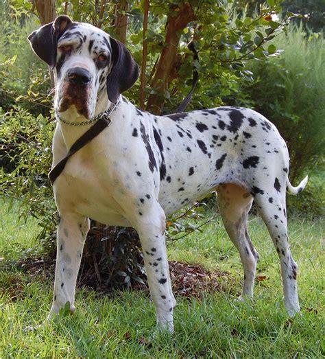 great dane puppy names 10 best great dane names