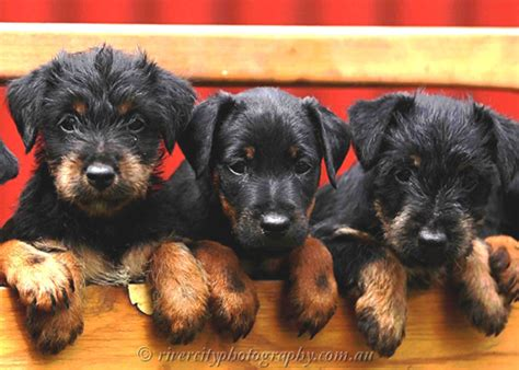 german jagdterrier puppies for sale hundream kennel jagdterrier australia 2013 puppy pics