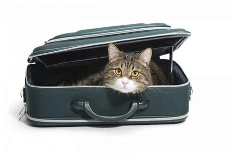 portare gatto in aereo in viaggio con e gatto come organizzare una vacanza