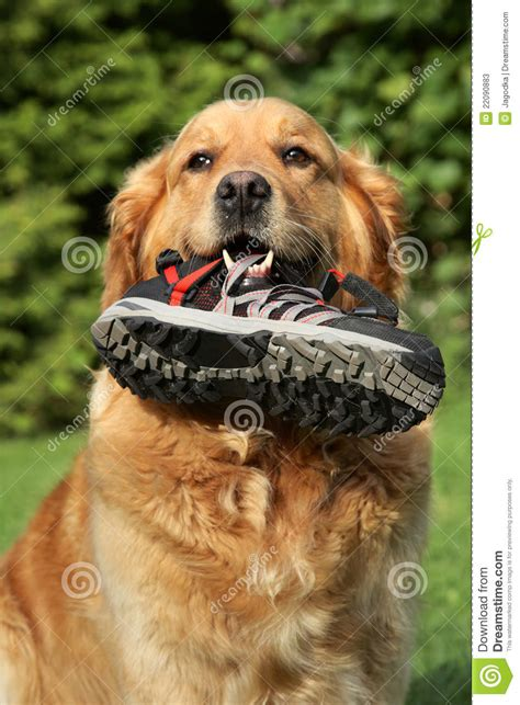 golden retriever teeth golden retriever with a boot in teeth stock photos image 22090883