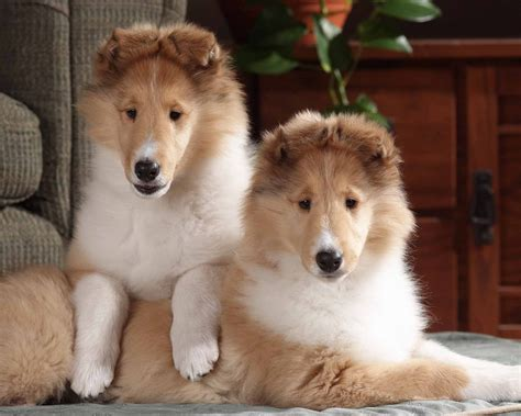 collie puppies for sale collies for sale in louisiana myideasbedroom