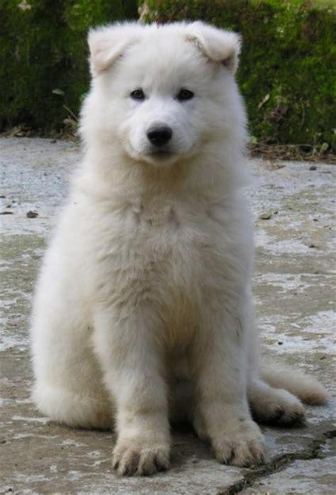 white swiss shepherd puppies white swiss shepherd i like