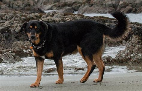 brown rottweiler six dogs stolen in langley at leash park