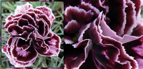 velvet garden flowers velvet garden flowers velvet celosia seeds and plants