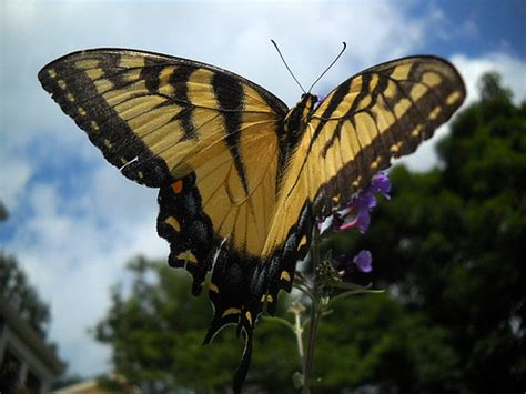 Original Mesin Jahit Butterfly Ja 1 yellow monarch butterfly flickr photo