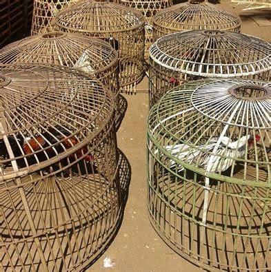 Obat Kuat Jawara ayam bangkok jawara garut kegunaan jemur ayam