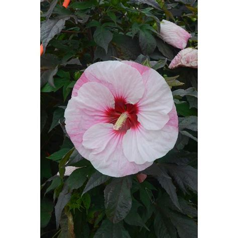 Homedepot Kitchen Faucets Proven Winners Summerific Perfect Storm Rose Mallow