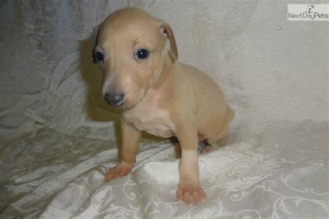 greyhound puppies for adoption italian greyhound puppy for sale near springfield missouri 465f3c2f bb31