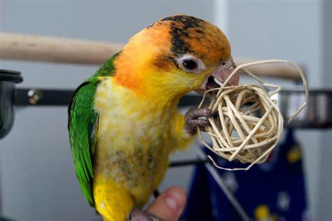 alimentazione pappagalli fornire una dieta adeguata al vostro pappagallo fondamentale