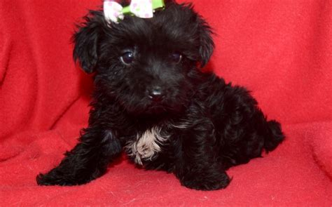 yorkie poo cost price yorkie poo puppies america s pet registry