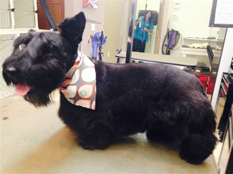 different ways to groom a scottish terrier pet grooming in west bloomfield animal hospital maple