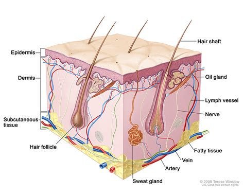 diagram of the dermis skin cancer treatment pdq 174 the of chicago