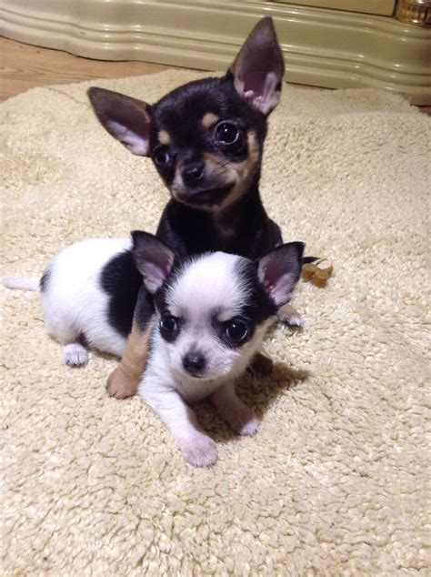 tiny chihuahua puppies for sale teacup chihuahua puppies for sale puppies for adoption