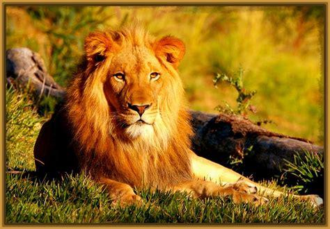 imagenes de leones las mejores imagenes de leones para fondo de pantalla fotos de tigres