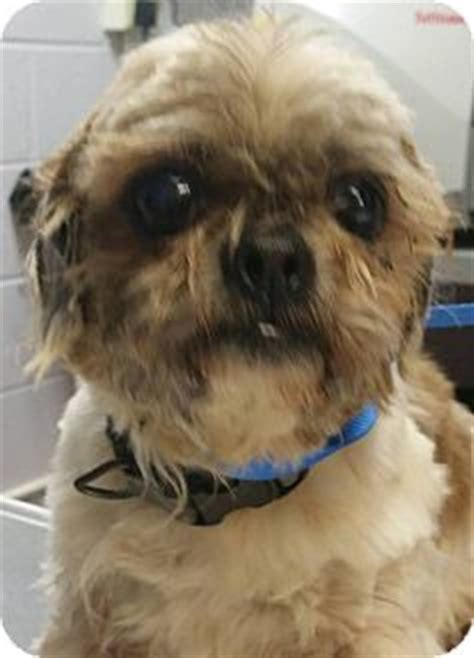 shih tzu mix puppies in michigan adrian mi shih tzu mix meet chewy a for adoption