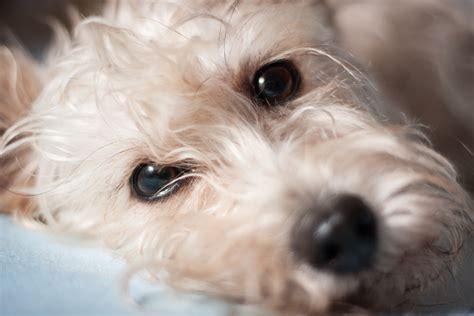 melanoma in dogs tumor of the eye in dogs petmd
