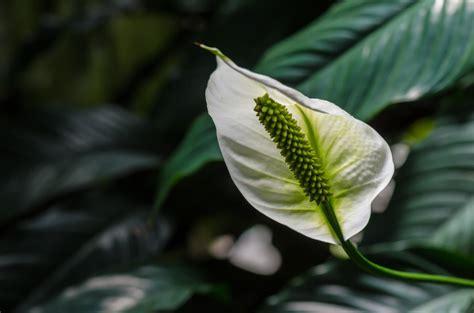 Blume Calla Pflege by Calla Vermehren 187 Mit Diesen Methoden Klappt S