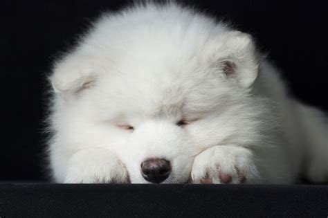 samoyed puppies for sale mn 17 best ideas about local puppies for sale on small dogs for sale teacup
