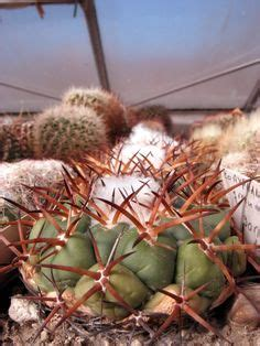 pin by tita on succulent coryphantha tripugionacantha flores entre espinas cacti and cactus flower
