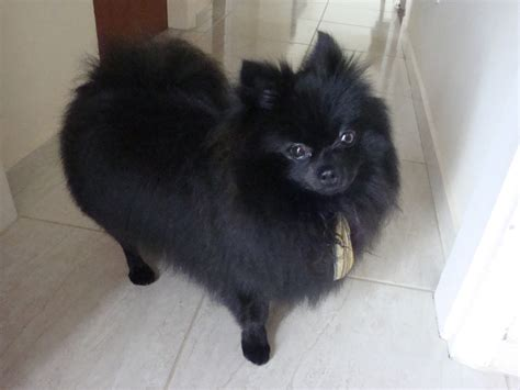 pomeranian pictures black 35 most awesome black pomeranian pictures and images