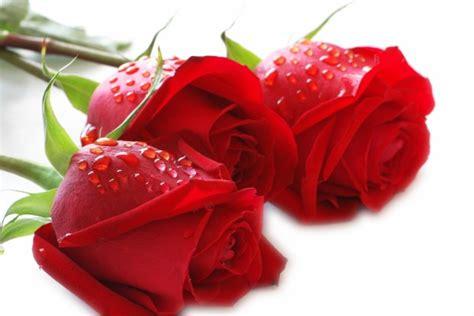 imagenes de rosas rojas para una madre fotos de rosas rojas hermosas fotos de flores y animales