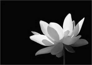 White Lotus Meditation White Lotus Flower In Black And White Lotus77 Lotus