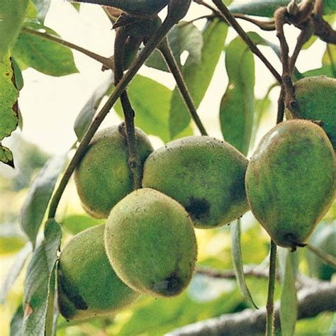 butternut tree fruit products oikos tree crops