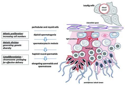 seminiferous tubules diagram file seminiferous tubule jpg embryology