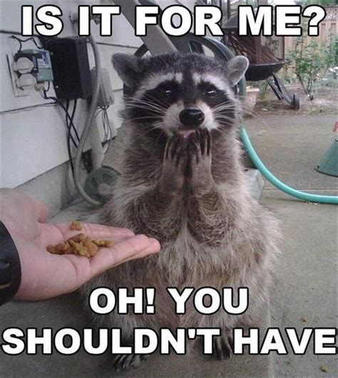 Funny Raccoon Meme - funny racoon pictures dump a day