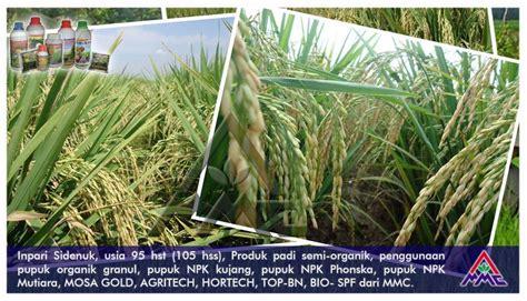 Pupuk Npk Mutiara Untuk Padi budidaya padi inpari sidenuk usia 95 hst 105 hss