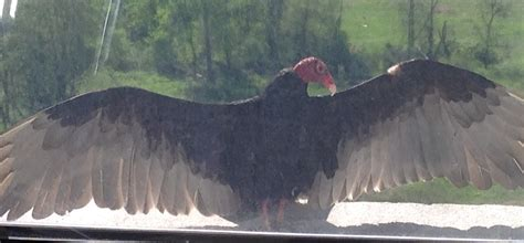 turkey vulture   window ledge news
