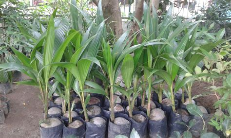 Jual Bibit Cendana Wangi bibit tanaman buah unggul tamora unggul nursery november 2016