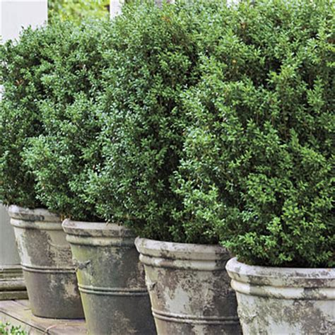 Boxwoods In Planters by Our Inspired Home Style Landscaping Potted