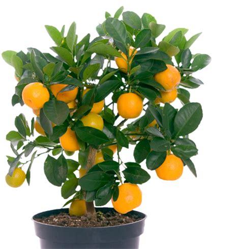 Sabun Chlorophyll Care Tranfarant orange trees for sale florida