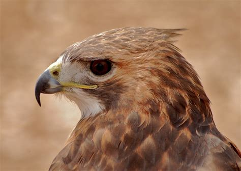 free photo hawk bird of prey raptor bird free image