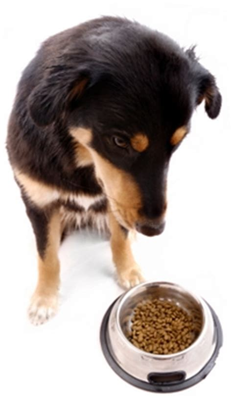 why do dogs always want food canned or food what s the better choice