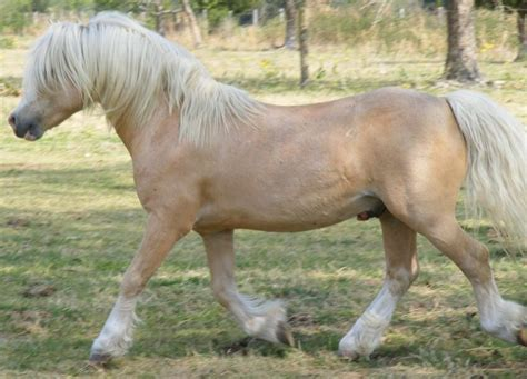 welsh mountain pony section a 1157 best welsh pony cob mountain pony images on pinterest