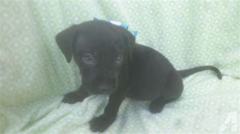 lab puppies for sale houston black lab puppies for sale in houston classified americanlisted