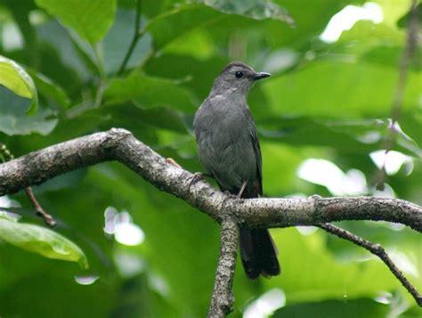 bill hubick photography gray catbird dumetella