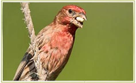 house finch diet house finch diet 28 images a bright house finch flickr photo bird pictures house