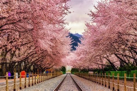 Japan Flower Tunnel by Jinhae Cherry Blossoms The Lightorialist